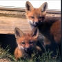 Illinois' first family shares temporary home with fox family