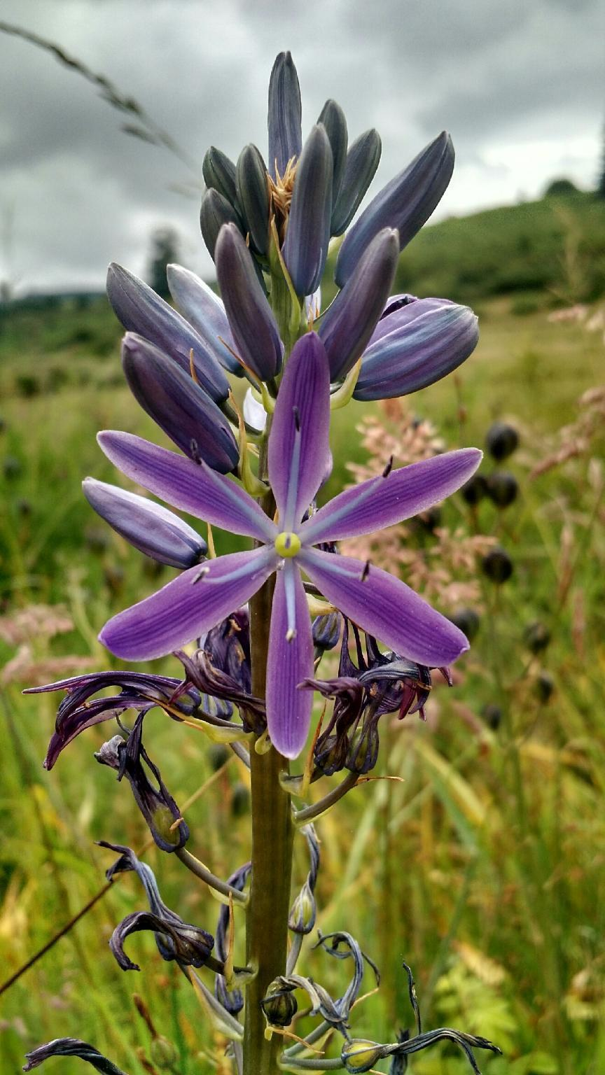 Camas flower in ODOT Region 3, which includes Douglas, Coos and Curry counties. (Worsley, ODOT/CC by 2.0)<p></p>