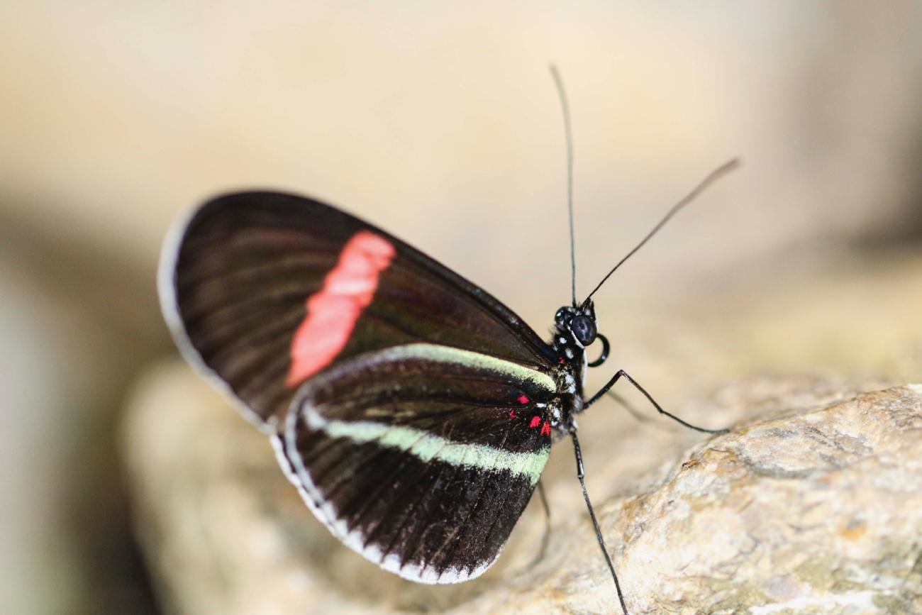 Mountain Longwing / Image: Tommy Zipperstein // Published: 5.5.17